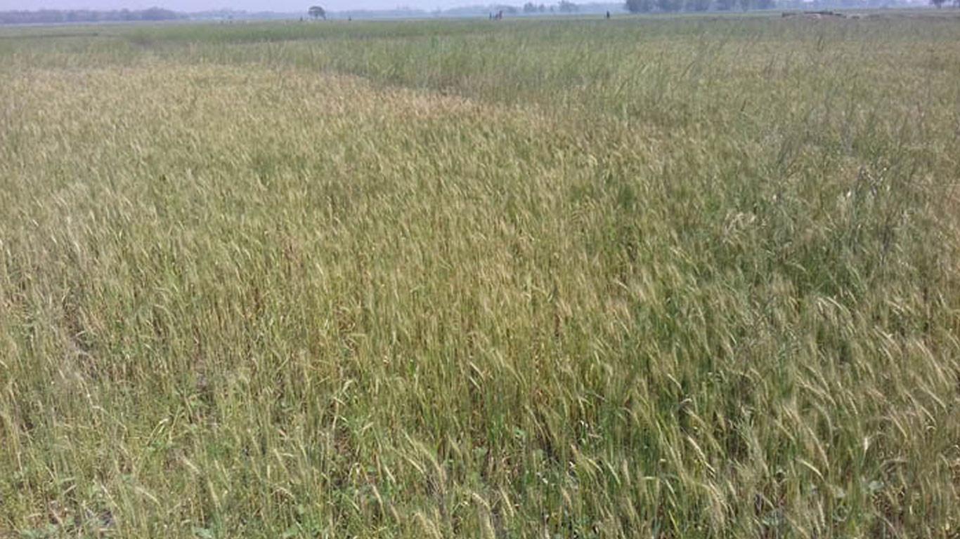गहुँबालीमा फौजी कीराको प्रकोप, किसान चिन्तित