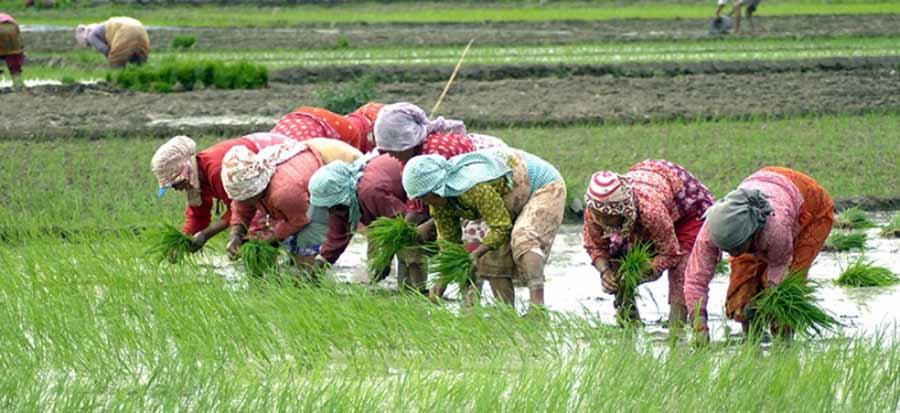सङ्क्रमणको जोखिम मोलेर धान रोप्दै लमजुङका किसान