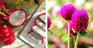 मखमली फूल र सिउडी फलको व्यावसायिक खेती