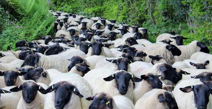 एकै गोठबाट खसी, भेडा बिक्री गरी २० लाख आम्दानी