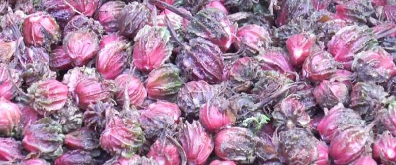 ताप्लेजुङमा अलैँची उत्पादन बढेपनि बजार मूल्य घटदा किसान चिन्तामा