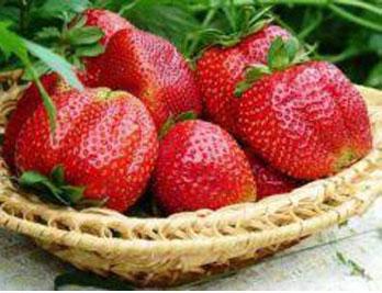 झापामा स्ट्रबेरीको व्यावसायिक खेती शुरु