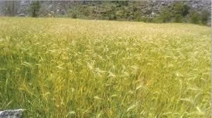रैथाने अन्नबाली र कृषि जैविक विविधताको संरक्षणमा चासो