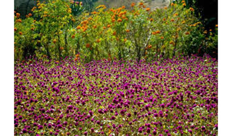 फूलखेतीबाट पाँच लाख आम्दानी गर्दै लक्ष्मीमाया