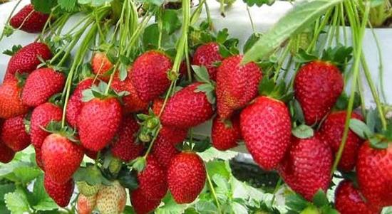 झापामा स्ट्रबेरी खेतीबाट मनग्य आम्दानी