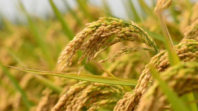 पर्सामा ८० प्रतिशत किसान धान खेतीतर्फ आकर्षित