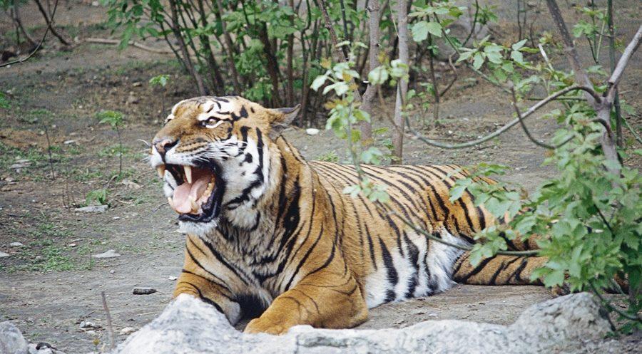 बाघको आक्रमणबाट चितवनमा एककाे मृत्यु