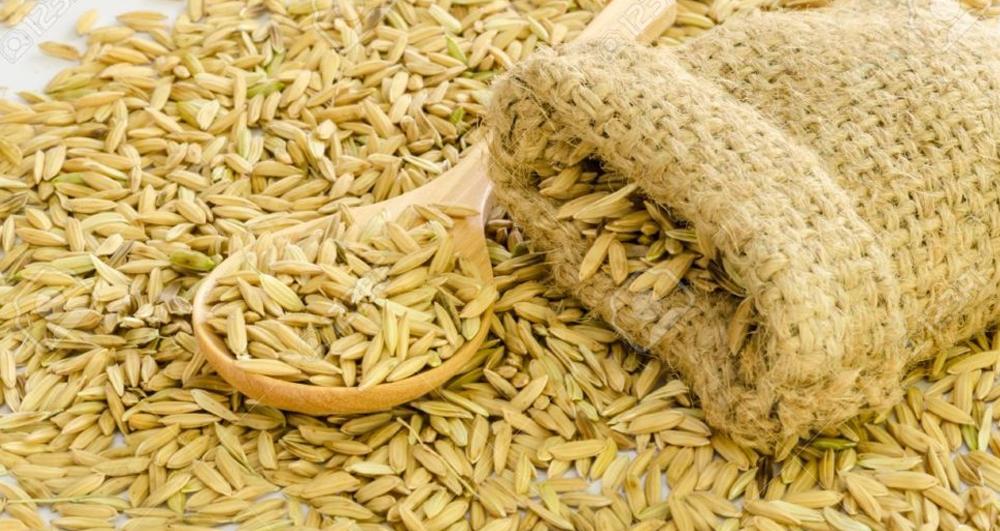विश्वकै लोकप्रिय मार्सी धानको खेती शुरु हुँदै