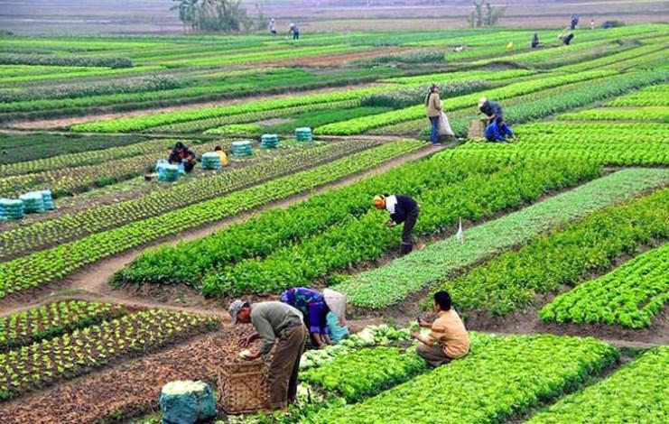 प्राङ्गारिक तरकारी खेतीबाट मनग्य आम्दानी लिँदै कञ्चनपुरका किसान